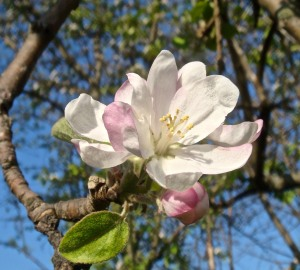 King apple blossom