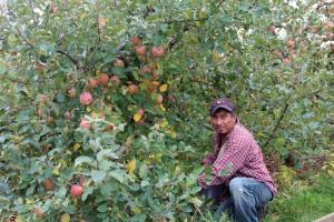 An apple picker kneels by a Fuji tree in Virginia's Shenandoah Valley