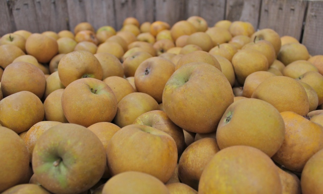 Roxbury Russets, from 'America's Apple' (Photograph by Bar Lois Weeks)