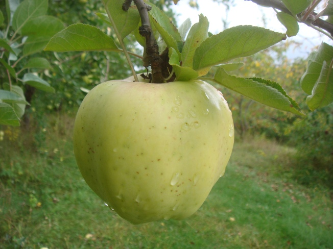 Calville Blanc d'Hiver, a 16th-century apple originating in France (Bar Lois Weeks photo)