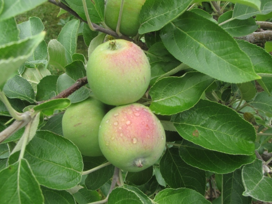 Maturing apples, early July, photograph by Russell Steven Powell