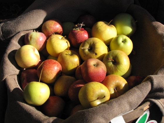 Cider apples on display at Clarkdale Fruit Farm in Deerfield, Massachusetts, during 2011 CiderDays