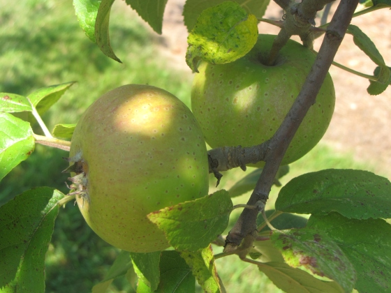 The heirloom American Pippin apple