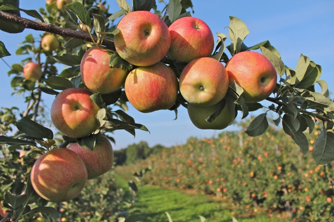 Honeycrisp apples at Norton Brothers Fruit Farm, Cheshire, Connecticut, from 'Apples of New England' (Bar Lois Weeks photo)
