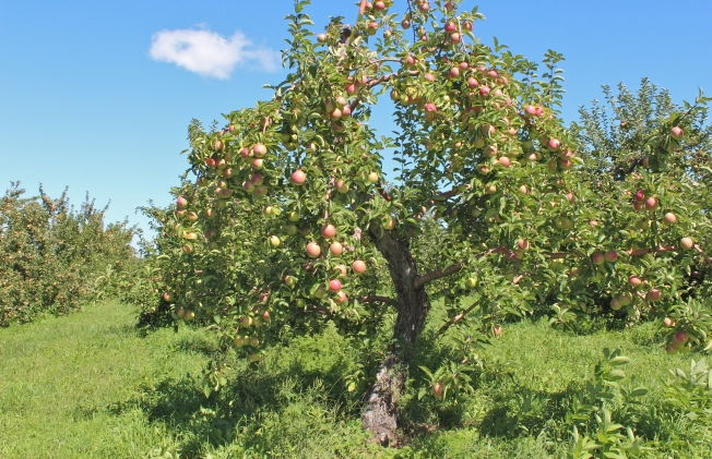 Spencer apple tree, The Big Apple, Wrentham., Massachusetts, from 'Apples Of New England' (Bar Lois Weeks photo)