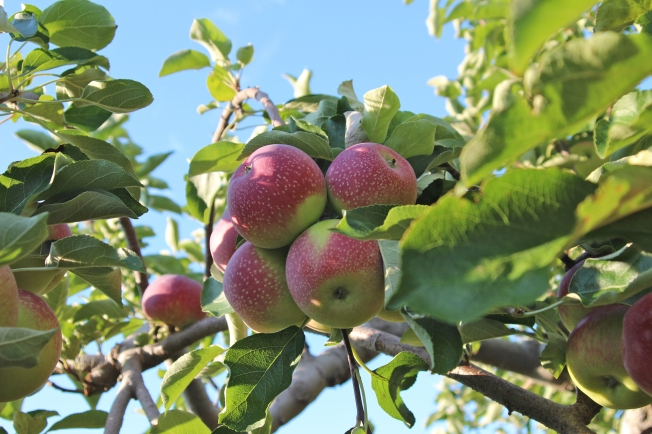 PaulaRed, an early season New England apple discovered in Michigan in 1960, at Steere Orchard in Greenville, Rhode Island, from 'Apples of New England' (Bar Lois Weeks photo)