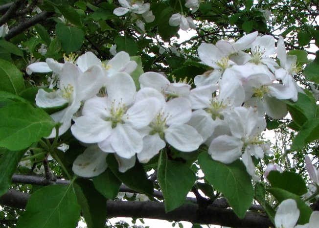 Apple blossoms (Russell Steven Powell photo)