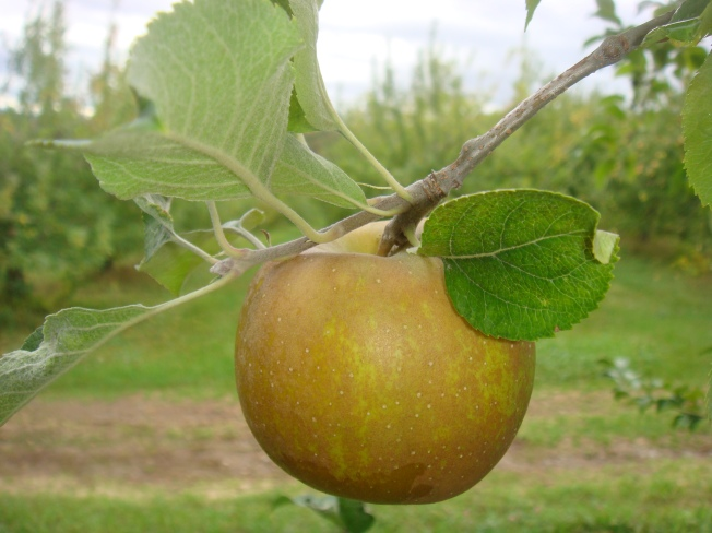 A Roxbury Russet, one of the apples grown in the Dickinson family orchard. (Bar Lois Weeks photo)